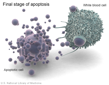 The remains of an apoptotic cell are being engulfed and ingested by a phagocytic white blood cell. Image via National Library of Medicine.